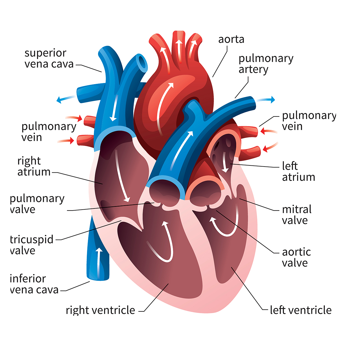 Heart Ventricles Diagram Relation To The Chest Wiring Diagrams Electronic Thermometer Circuit Tradeoficcom Queensland Cardiovascular Group Anatomy Of Rh Qcg Com Au